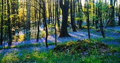 Woodland Joy (Clive Varley) Tags: april2019 bluebells gimp21010partha gmicfilmpresets nikond7000