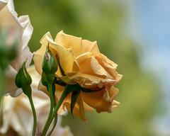 2019 Spring roses (shinichiro*) Tags: 20190515dsc9855 2019 crazyshin nikon1v3 v3 1nikkorvr70300mmf4556 may spring yokohama kanagawa japan jp 横浜イングリッシュガーデン yeg rose 47873752601 candidate