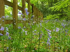 Smile on Saturday-The fancy bluebell fence (katy1279) Tags: smileonsaturday fancyfence woodenfence bluebells bluebellfence nature woodland green