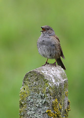 Singing in the Rain (Treflyn) Tags: dunnock brighten wet morning eardington shropshire uk singing rain bird song