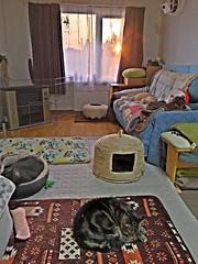 Cats Ignoring the Sunset (sjrankin) Tags: 18may2019 edited sunset kitahiroshima hokkaido japan argent norio tigger yuba livingroom couch mat chigura cathouse blanket heater window curtains hdr sky clouds haze dust