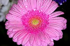 Pink Flower (Croydon Clicker) Tags: flower water droplets pink focusstack macro sigma105mm petal