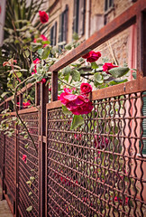 Fancy fence (Pepenera) Tags: fancyfence smileonsaturday flower fiore fleur flowers flor