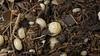 """Armadillidium vulgare """"albino"""" (Awavi) Tags: isopod albino armadillidium ダンゴムシ pillbug アルビノ"""