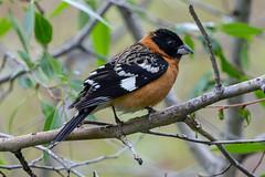 Black-headed Grosbeak (Gf220warbler) Tags: idaho migrant passerine riparian songbird