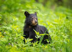 Un-Bear-ably Cute! (DTT67) Tags: cub bear bearcub blackbear canon1dxmkii 1dxmkii 500mmii canon forest woodlands va virginia shenandoah animal mammal nature wildlife