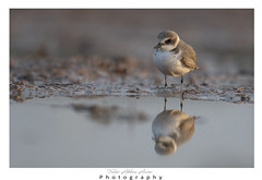 Kentish plover (T@hir'S Photography) Tags: adult animal animalwildlife beach bird birdwatching copyspace focusonforeground horizontal maleanimal nature outdoors photography plover resting sand sea spain standing water watersedge kentishplover 2015 animalmigration backgrounds coastline endangeredspecies europe mediterraneansea tranquilscene waderbird wadingboots animalbodypart animaleye animalleg animallimb animalwing animalshunting animalsinthewild beak brown bush camouflage closeup colorimage cute exoticism flying grass greencolor image indigenousculture limb looking oneanimal plant portrait publicpark sandpiper scenicsnature small spotted staring stoneobject tail theamericas usa