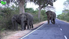 Brave travelers feeding huge and baby elephants by the road. NEVER TRY THIS! (THE WILD ELEPHANT) Tags: huge elephant rescue video youtube quite baby funny kids videos the wild wildlife news tv