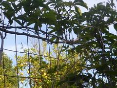 """fancy fence""!!  P1070966 (amalia_mar) Tags: fence fancy plants leaves trees lemontree lemons sky green blue yellow smileonsaturday"