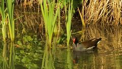 Moorhen, 14052019, 05 (alanblunden) Tags: wildbird riverwitham bird alongtheriver wildlife grantham wild spring wildfowl moorhen granthamsriversidewalkcycleway river uk may fowl spring2019 may2019