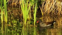 Moorhen, 14052019, 03 (alanblunden) Tags: wildbird riverwitham bird alongtheriver wildlife grantham wild spring wildfowl moorhen granthamsriversidewalkcycleway river uk may fowl spring2019 may2019