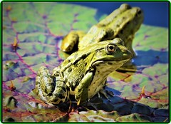 Frogs (Ioan BACIVAROV Photography) Tags: frog frogs nature water leaves