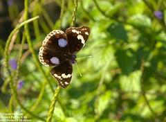 2019-05-18 Dark Blue Pansy (Junonia oenone) 9703_1 (corné vermaak) Tags: junoniaoenone darkbluepansy butterfly southafrica smcpentaxf3580mm pentaxk50