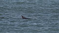 M2011325 E-M1ii 420mm iso200 f5.6 1_1000s -1 (Mel Stephens) Tags: 20190401 201904 2019 q2 16x9 wide widescreen olympus mzuiko mft microfourthirds m43 300mm pro mc14 omd em1ii ii mirrorless gps uk scotland aberdeen torry coast coastal animal animals nature wildlife fauna dolphin dolphins