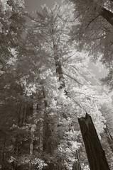 Disjunct (baro-nite) Tags: sequoia sempervirens trees redwood forest infrared pentax k5 rokinon13524mmedasumctiltshift tiltshift iridientdeveloper