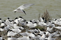 Room for one more-7D2_3496-001 (cherrytree54) Tags: sandwich tern rye harbour east sussex canon sigma 7d 150600