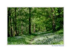 Springtime (rayduckworth) Tags: wales clwyd woodland wildgarlic trees leaves