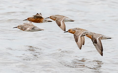 Red Knots (tresed47) Tags: 2019 201905may 20190517newjerseybirds birds canon7dmkii capemay capemaynwr content flightshot folder general kimblesbeach may newjersey peterscamera petersphotos places redknot season shorebirds spring takenby us