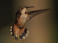 Female Rufous Hummingbird (ebeckes) Tags: femalerufoushummingbird hummingbird rufoushummingbird olympusemimkii panasonicleica100400