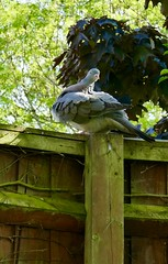 On the fence (tanith.watkins) Tags: fancyfence pigeon fence smileonsaturday