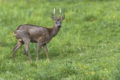Brocard (Yohann Hamonic) Tags: yohannhamonic yhamophotos brocard chevreuil printemps nature blavet valléedublavet