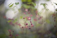 the delicates (pixiespark) Tags: epimedium blossoms blüten flowers blumen leaves blätter bokeh light licht forest wald nature natur thedelicates