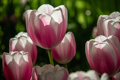 Enlightened (s_andreja) Tags: tulip flower pink white backlit park keukenhof garden netherlands lisse
