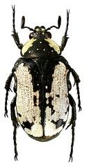 Elaphinis latecostata (dries.marais) Tags: