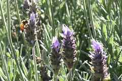 Abeja en lavanda (Martín Papi) Tags: abeja animales lavanda plantasyflores