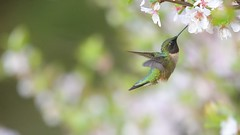 DSC_8327 (willy_chan88) Tags: ruby throated hummingbird
