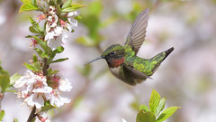 DSC_8534 (willy_chan88) Tags: ruby throated hummingbird