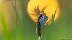 Common Blue (Polyommatus icarus) (BraCom (Bram)) Tags: 169 bracom bramvanbroekhoven depthoffield dof goereeoverflakkee herkingen holland icarusblauwtje nederland netherlands polyommatusicarus sigma150mmf28macro southholland zuidholland bokeh butterfly commonblue gras grass macro morning ochtend scherptediepte sunrise vlinder widescreen zonsopkomst nl