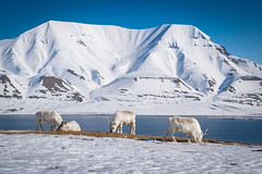 Svalbard Reindeer - living the hard life (Kadu Flyer) Tags: reindeer svalbard spitsbergen longyearbyen snow ice sea mountain sky animal wild norway