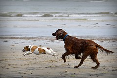 Racing on he beach (c.marney) Tags: jack russell terrier red setter beach