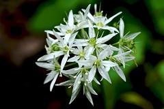 Bärlauch - wild garlic (karstenzschache) Tags: blumen pflanzen flowers bärlauch makro fuji xt2 wildgarlic xf60 macro