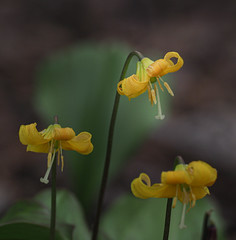 Dog-tooth violet (John Strung) Tags: canada flowers hamilton ontario rbg rockgarden