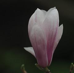 Magnolia (John Strung) Tags: canada flowers hamilton ontario rbg rockgarden