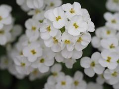 Wall Rockcress (John Strung) Tags: canada flowers hamilton ontario rbg rockgarden