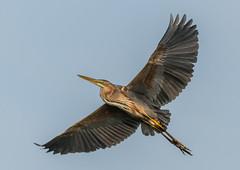Purple Heron (143latorre) Tags: birds nightheron parquenaturaldelomonte purpleheron spainmay2019 squaccoheron
