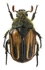 Trichocephala brincki (dries.marais) Tags: