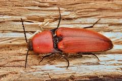 Elater ferrugineus (Radim Gabriš) Tags: coleoptera elateroidea elateridae elater elaterferrugineus clickbeetle beetle insect macro