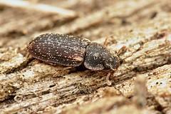 Colobicus hirtus (Radim Gabriš) Tags: coleoptera beetle zopheridae colydiidae colobicus colobicushirtus insect macro