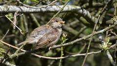 Juvenile sparrow (Deanne Wildsmith) Tags: sparrow bird chasewater staffordshire earthnaturelife