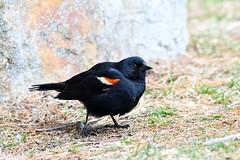 Red-winged Blackbird (kevinwg) Tags: redwinged blackbird redwingedblackbird ground male