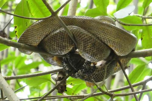 Caroni Bird Sanctuary Tree Boa Constrictor