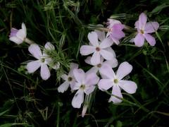 Up Here Spring (Robert Cowlishaw (Mertonian)) Tags: downlooking beauty beautiful ineffable spring2019 canonpowershotsx70hs sx70hs powershot canon robertcowlishaw mertonian 4sophia awe joy pink 2cuisbeautiful