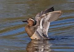 IMG_5666 Garganey (Dennis Swaby) Tags: bird duck wildfowl garganey