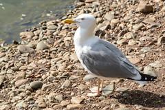 *** (Yuriy Kuzmenok) Tags: птицы птица природа чайка животные
