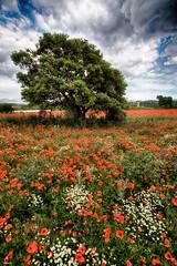 Luz y color (candi...) Tags: arbol amapolas cielo nubes naturaleza nature alairelibre flores color sonya77ii margaritas