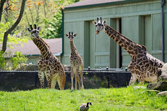 Oly1m2_5168171.jpg (SGIsble (Buried in Photos)) Tags: giraffe clevelandmetroparkszoo africansavanah zoos